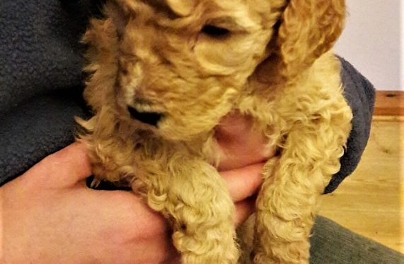 Photo Labradoodle blond chiot