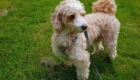 Photo Labradoodle miniature blond dans le jardin