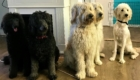 Photo Labradoodle en groupe